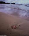 sea star, beach, schooner cove, pacific rim provincial park, british columbia, canada