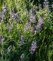 lupine, Washington, Methow Valley, purple