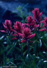 Flattops Wilderness, Colorado, Indian Paintbrush, Mosquito Lake, shore