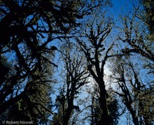 Silhouetted Trees Along Hoh River