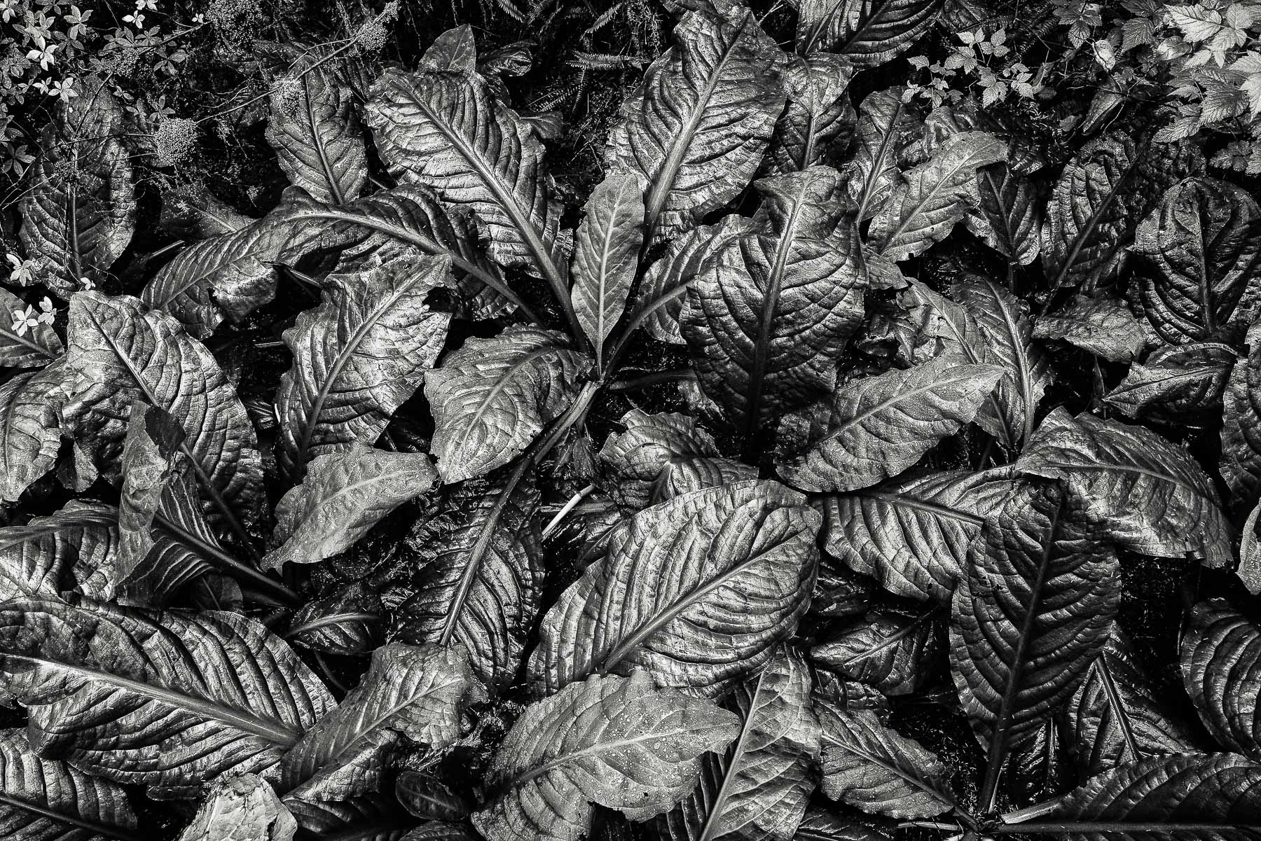 leaves, rainforest, Canada, British Columbia, Vancouver Island, , photo