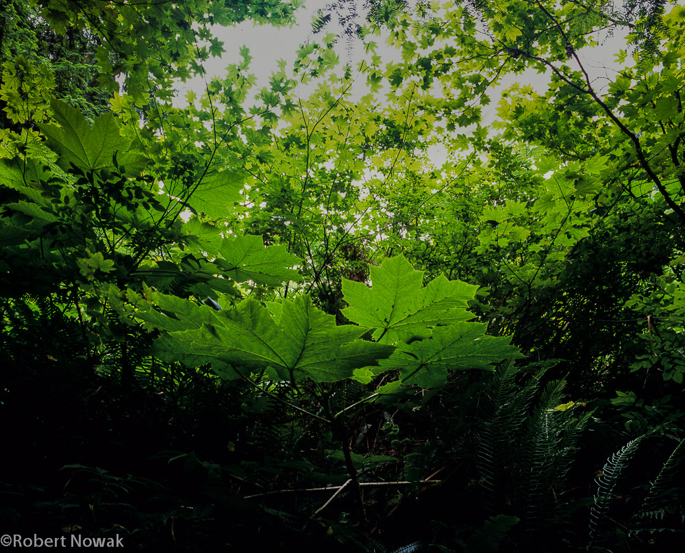 leaves, Washington, Lake 22, lake 22 research natural area, green, trail, canopy, photo
