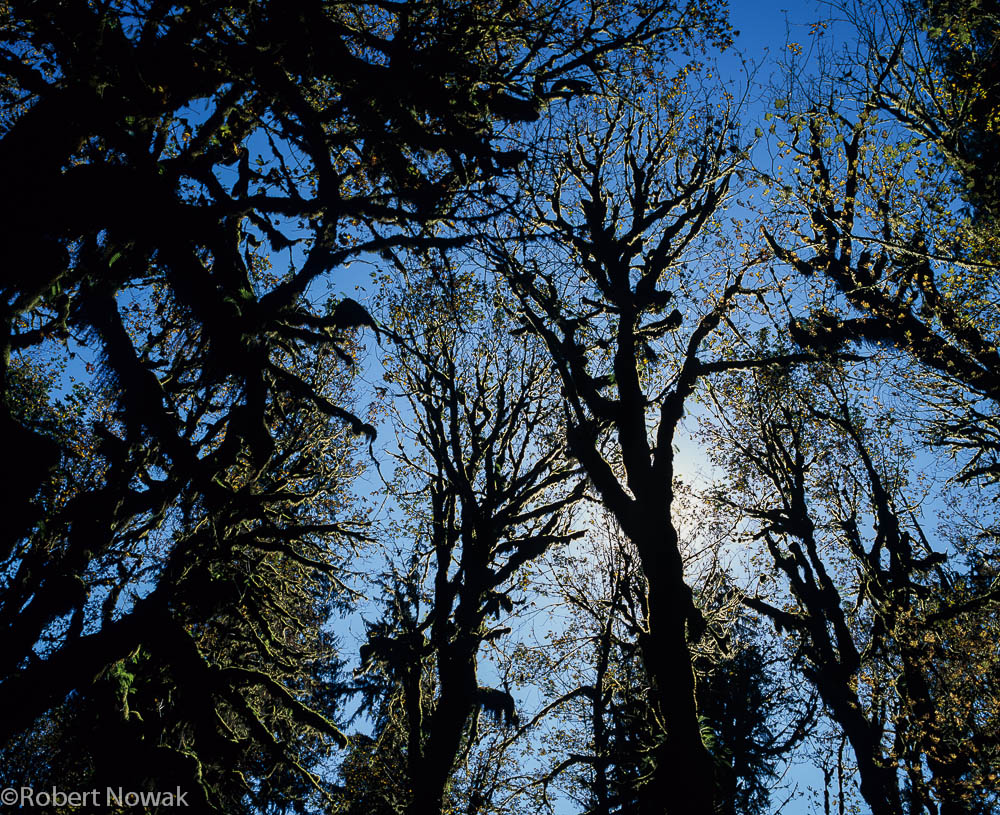 Hoh River, Olympic National Park, Washington, trees, silhouette, photo